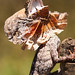 Frilled Neck Lizard - Juvenile by stephen_bullock