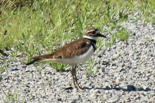 IMG_0545a_Killdeer