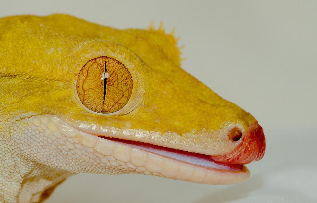 Crested Gecko (Correlophus ciliatus)_17