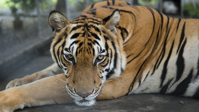 A tiger at close quarthers at a private Zoo