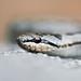 Coronella austriaca / Smukulja / Smooth snake by Aleksandar Simović