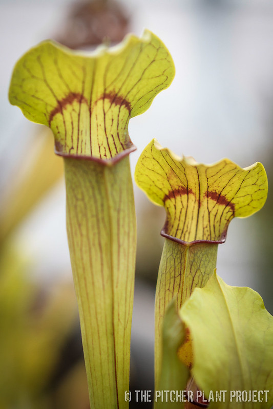 "Sarracenia alata - ""Red Mustache"""