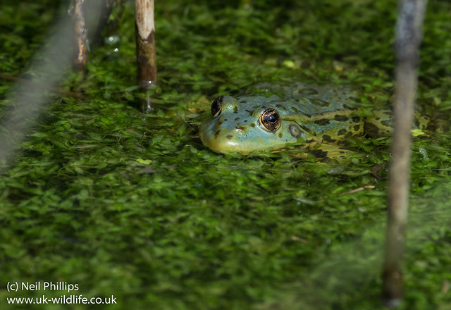marsh frog-4
