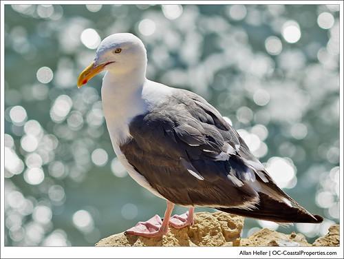 Seagull on Corona del Mar Bluff
