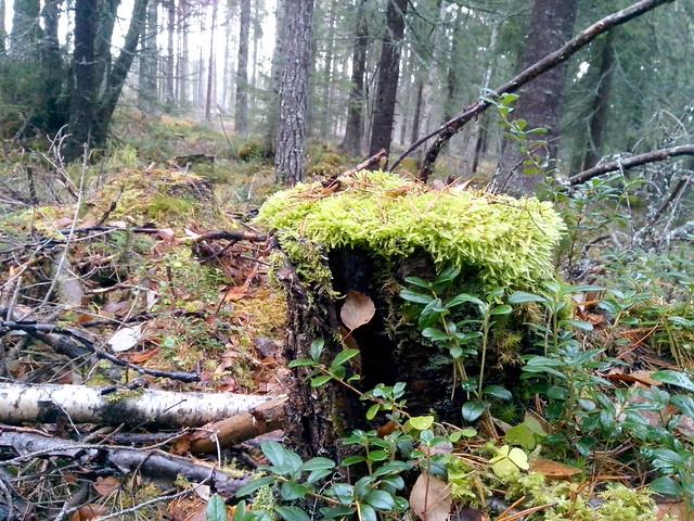 Jämtland skog