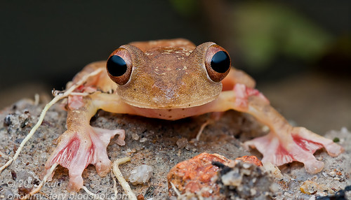 Harlequin Tree Frog (Rhacophorus pardalis) IMG_2696 stk copy