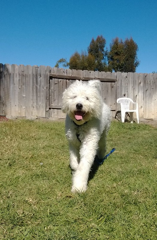 Wash, Komondor Rescue, San Diego, CA
