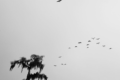 White Ibis in black and white