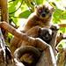 Ankarana Sportive Lemurs, Ankarana (Stephen Woodham)