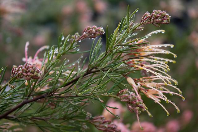 Grevillea rosmarinifolia 'Desert Flame'