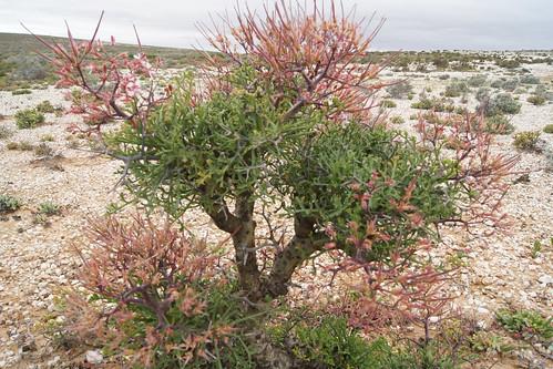 Pelargonum crithmifolium