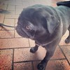 Pug friend on Cuba Street #dogsofinstagram