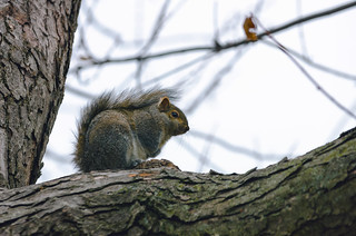 The king of the Chicago parks squirrel
