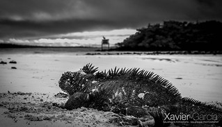 Marine Iguana waiting for the sun B&W / Iguana marina esperando algo de sol