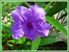 Ruellia simplex 'Purple Showers' or R. tweediana/brittoniana (Britton's Wild Petunia, Mexican Petunia/Bluebell) in our garden, 10 Dec 2013