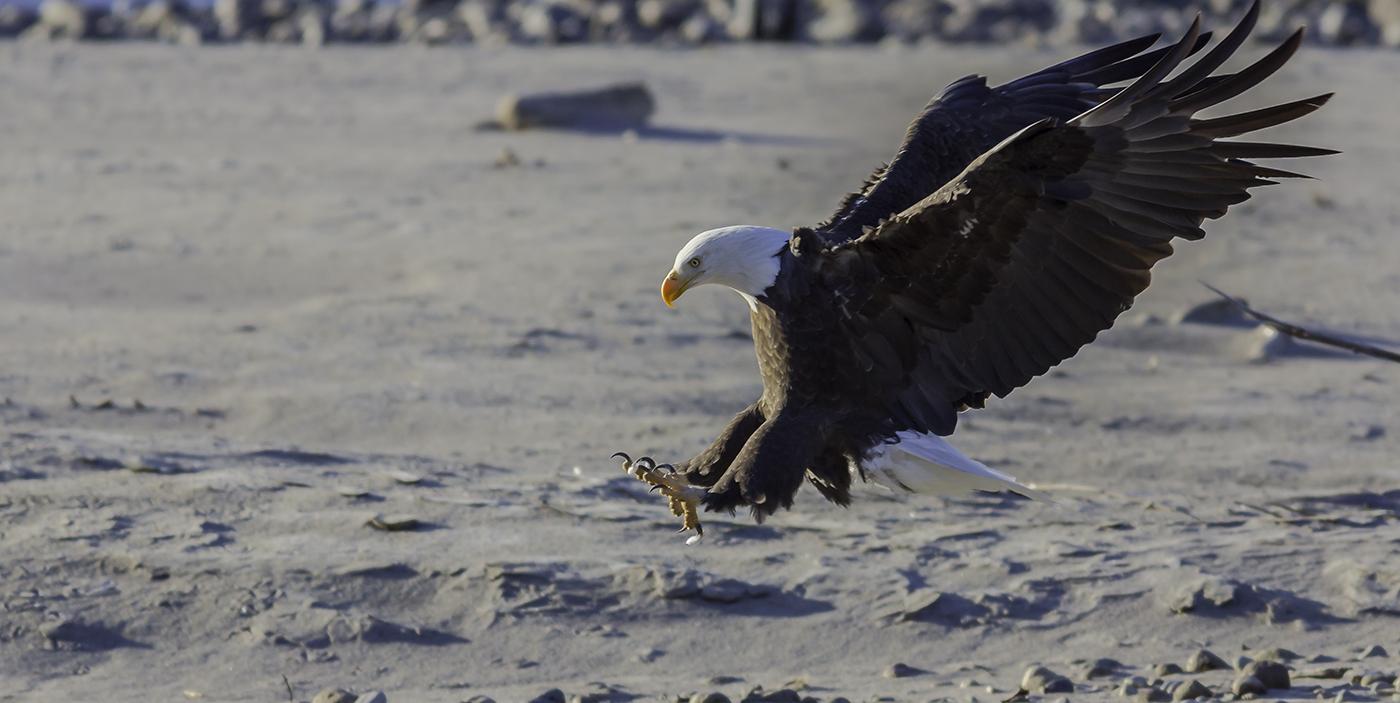 Brackendale Eagle Landing for a Salmon   Flickr - Photo ...