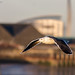 great  black-backed gull (Larus marinus) in flight by Tales From The Riverbank