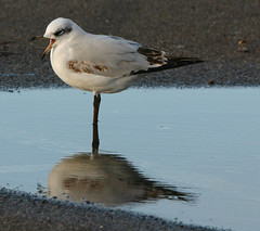 1st winter MED GULL 3 Radipole 271213 by davidearlgray