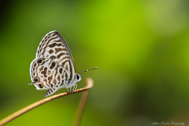 Zebra Blue Butterfly