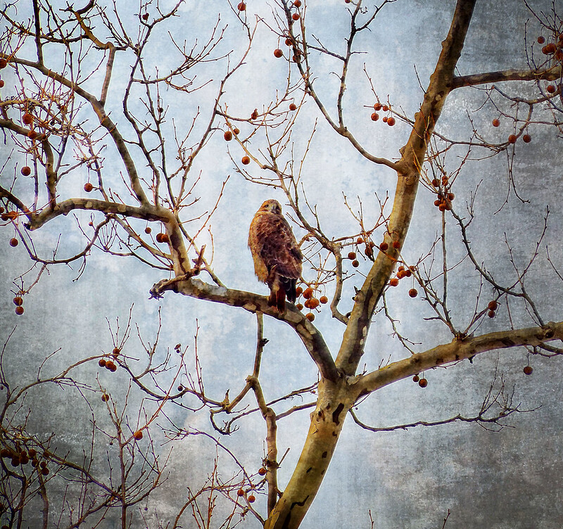 Adult red tail in Tompkins Square