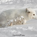 Arctic fox in action by nemi1968