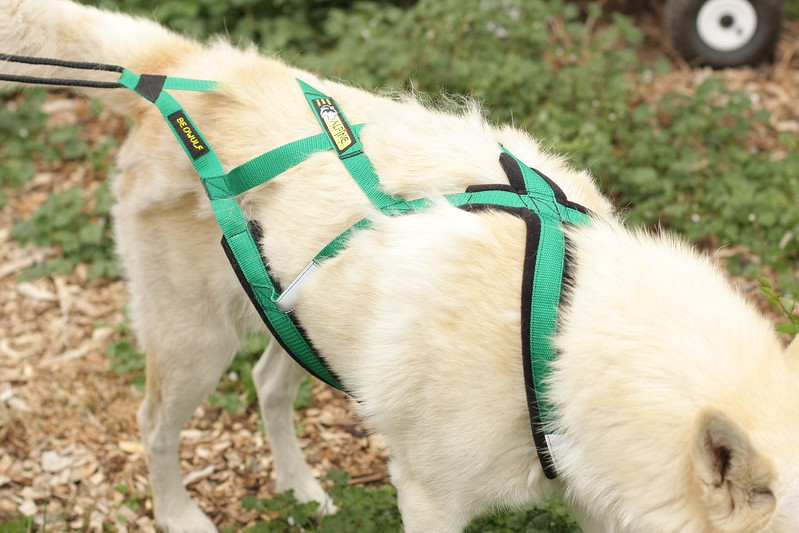 Beowulf trying on his new bikejoring sled dog harness [pics by my 8-yr old daughter] 14306934839_a597383d96_c