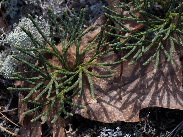 Club Moss, Lichen, Fallen Leaves