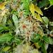 Clématite blanche (Clematis vitalba) (2) by Nanou_7