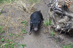 Tasmanian Devil at the Los Angeles Zoo
