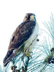 2016-12-20Short-tailedHawk