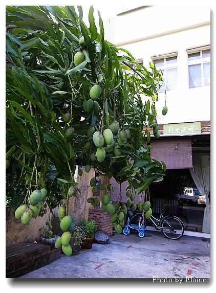 民宿院落內結實纍纍的芒果樹