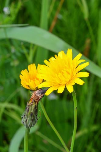 <p><i>Hieracium lachenalii</i>, Asteraceae<br /> Colony Farm Regional Park, Coquitlam, British Columbia, Canada<br /> Nikon D5100, 105 mm f/2.8<br /> June 22, 2013</p>