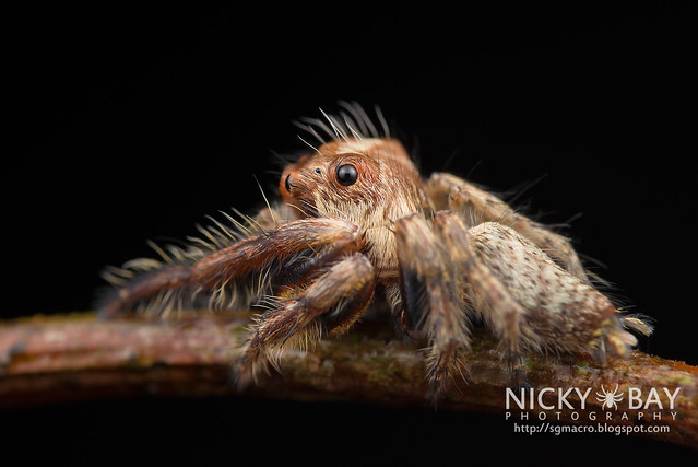Jumping Spider (Salticidae) - DSC_0756