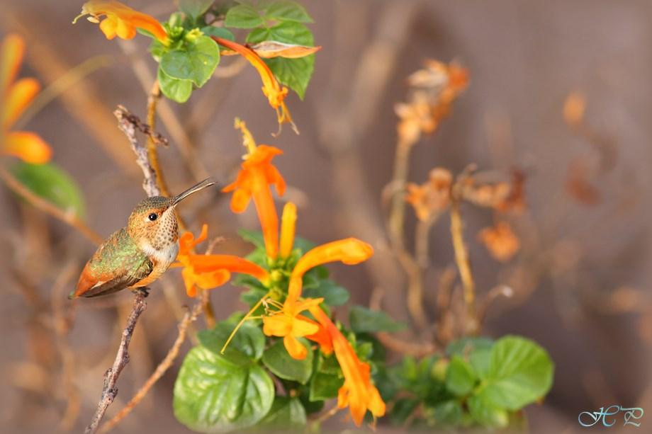 Allen's Hummingbird 080513