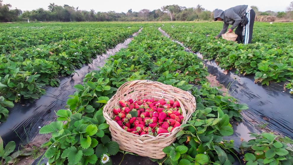 Una cesta llena de frutillas en medio de la plantación mientras un hombre prosigue con la cosecha de más frutos para los diversos stands de la Expo Frutilla, en Areguá. (Tetsu Espósito).