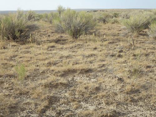 habit idaho chamisa habitat poaceae perennial introduced bunchgrass ericamerianauseosa rogerson crestedwheatgrass chrysothamnusnauseosus agropyroncristatum coolseason artemisiatridentatawyomingensis