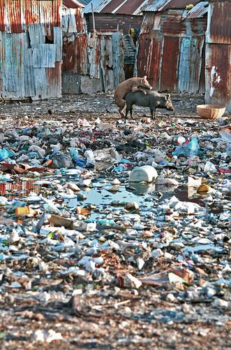 port sunrise haiti au prince pigs slum animalsex bidonville citesoleil