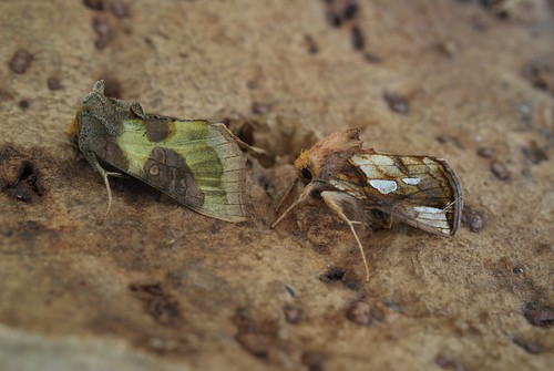Burnished Brass (Diachrysia chrysitis) and Gold Spot (Plusia festucae)