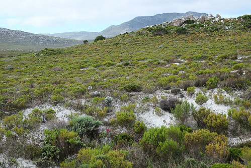Fynbos and Hyobanche at Cape Point by andiwolfe