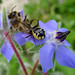 Small photo of Crab Spider, Synema globosum with Bee on Borage