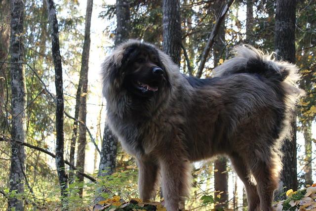 Tibetan mastiff and caucasian ovcharka mix | Flickr ...