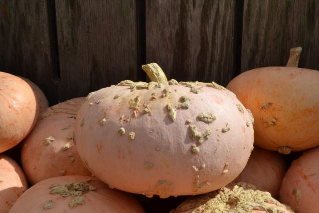 pink pumpkins