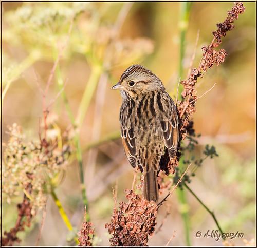 northerncalifornia lincolnsparrow slicesoftime blinkagain solanocountybirds americancanyonbirds2013