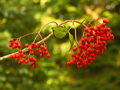Red Sorbus Berries