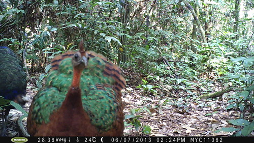 female Congo Peacock