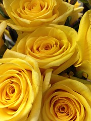Yellow Roses Texas Flowers