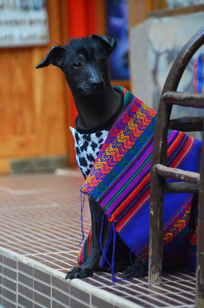 Perro en Machupicchu vestido de peruano
