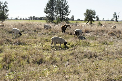 Sheep on travelling stock reserve130524-8310