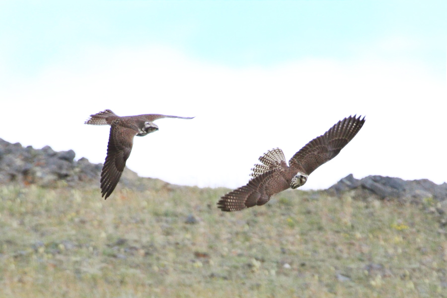 Two young Sakers