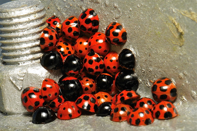 Lady Beetles (Harmonia sp., Coccinellidae)